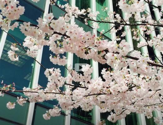 cherry-sakura_rocketcandy-video